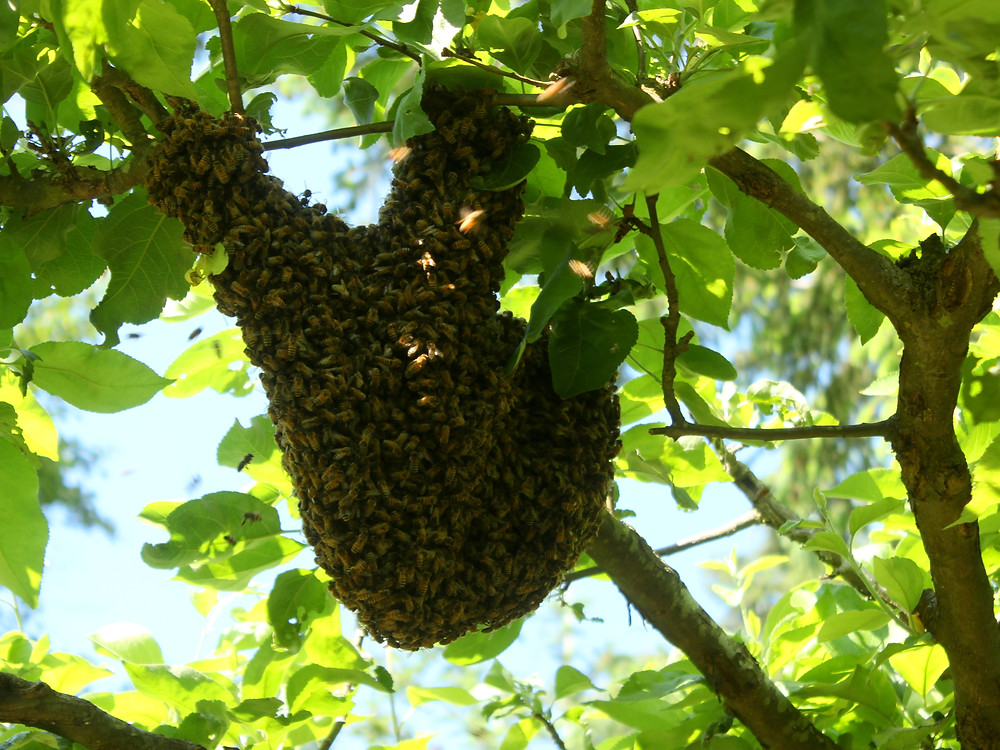 Honey bee swarm (Photo cred: danna & curious tangles)