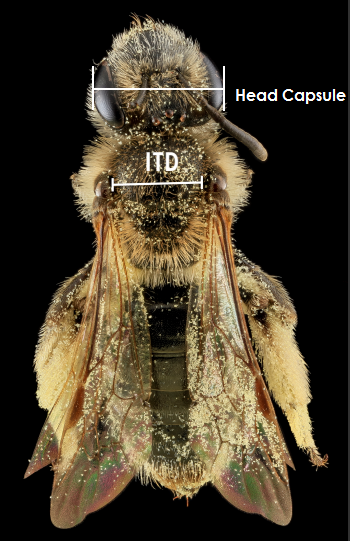 Overhead view of bee with head capsule width and ITD noted
