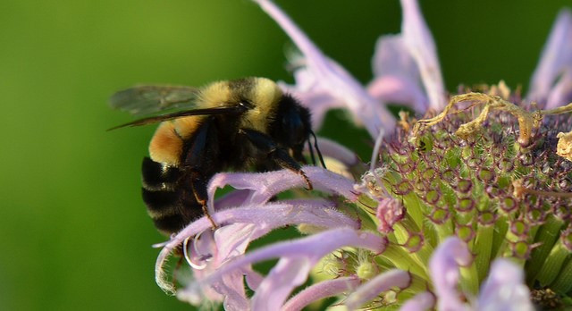 Rusty Patched bumble Bee. Photo by USFWS Midwest Region CC BY 2.0