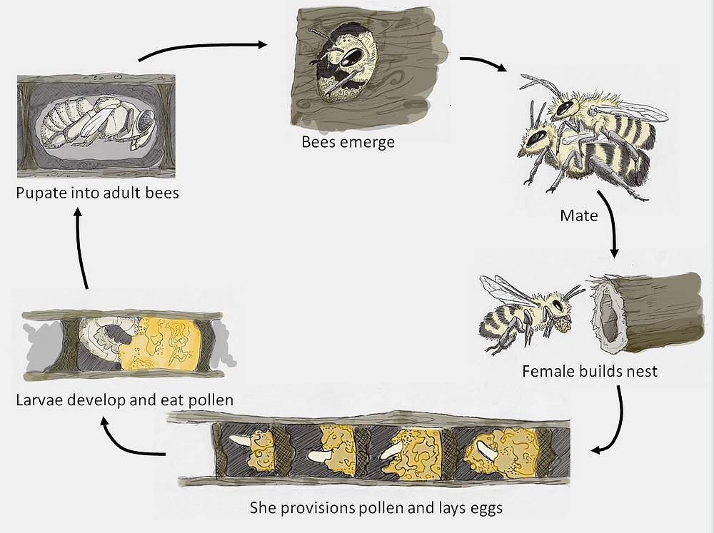 Illustrated life cycle of a stem nesting bee