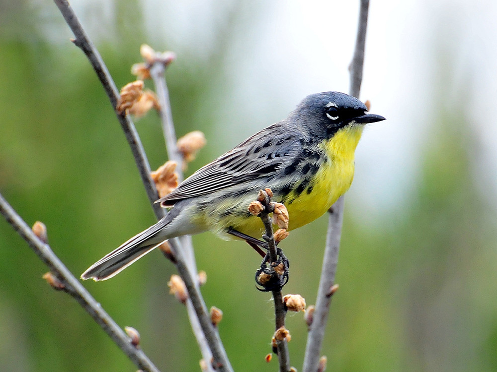 Kirtland Warbler. Photo USFWSmidwest CC BY 2.0