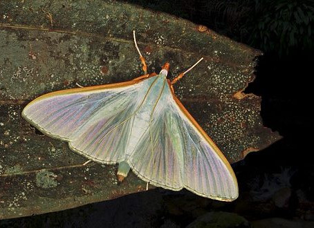 SOUTH EAST ASIAN MOTHS CRAMBIDAE (CRAMBID MOTHS, GRASS MOTHS, CRAMBID SNOUT MOTHS)