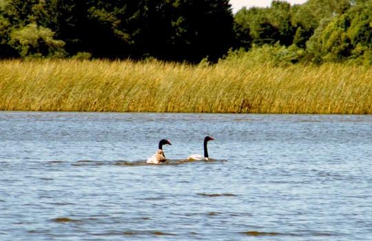 Humedal lac cruces, dos cisnes nadan en el agua