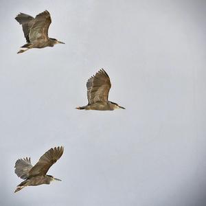 huairavos en vuelo