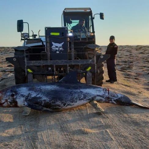 Encuentran restos de cetáceo en la playa de Tunquén