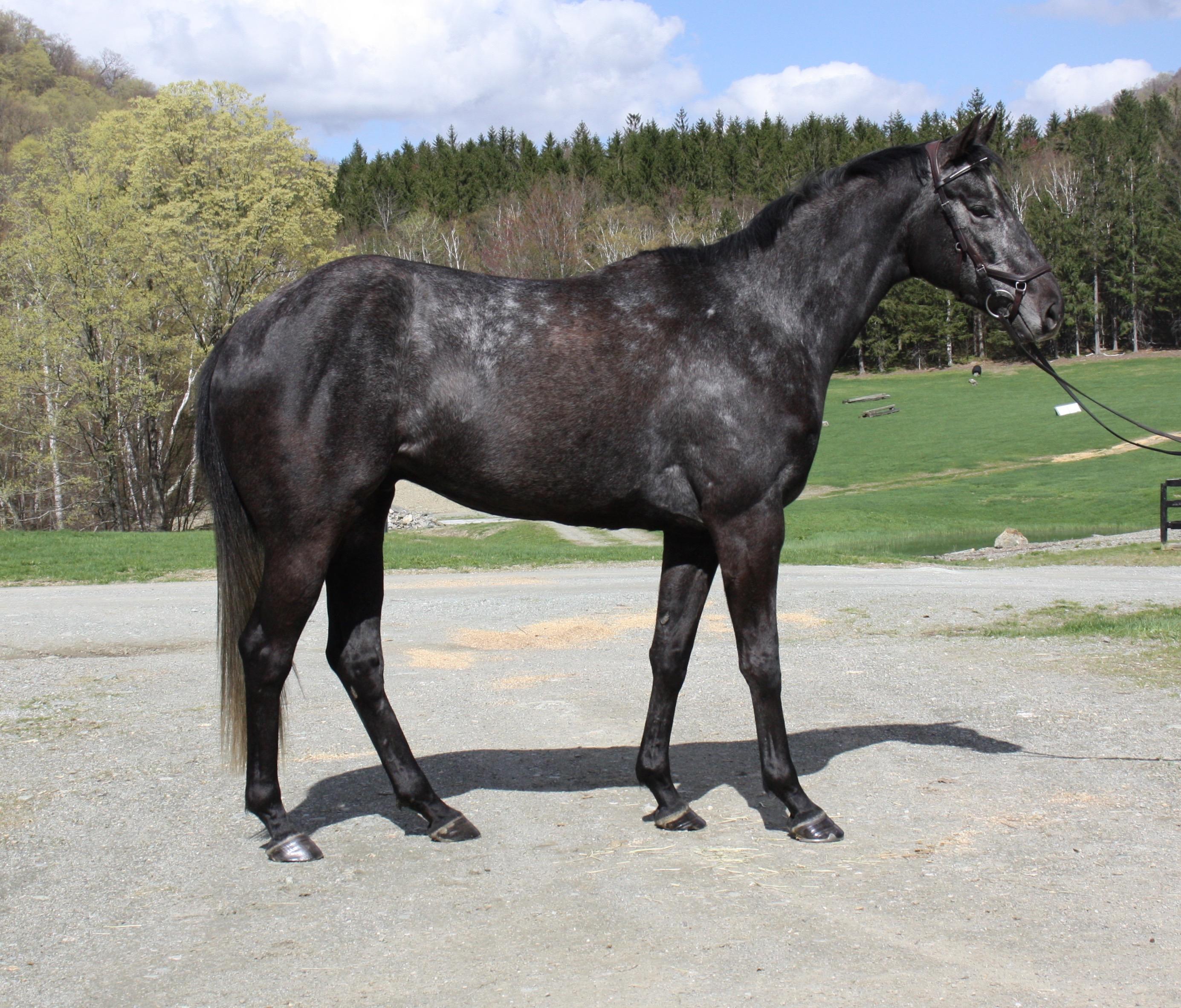 Horses for sale, west rupert vermont, oronacah farm equestrian