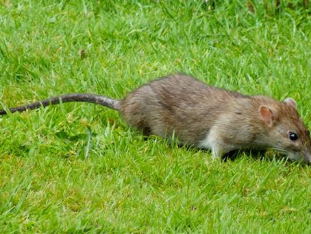 A Rat in a Southampton Park