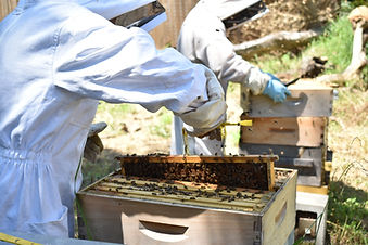 Beekeepers inspecting an apiary