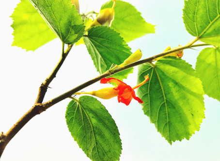 Beat Sugar Cravings with Gymnema Sylvestre