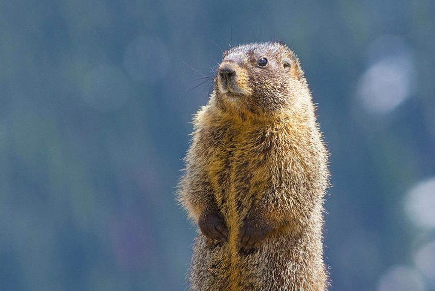 1-rocky-mountain-marmot-bogdan-lewulis.j