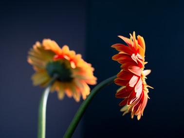 Still Life | Gerbera Daisys