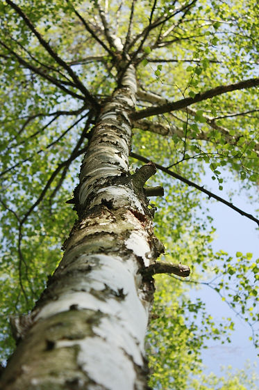 Birch in Spring Tall