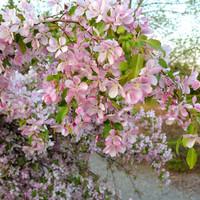 Neilson_EveningwalkKingsbraeblossoms1240
