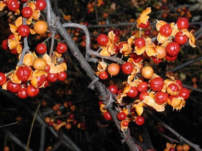 Celastrus (bittersweet) berries