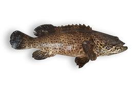Malabar Grouper.jpg