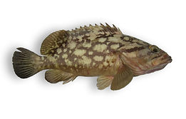 Cloudy Grouper.jpg