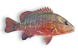 Mangrove Red Snapper.jpg