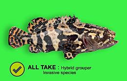 Hybrid Grouper_green.jpg