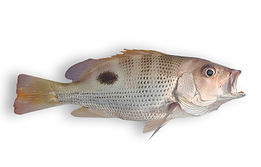Golden Snapper.jpg