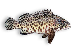 Honeycomb Grouper.jpg