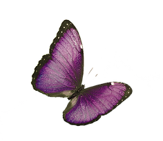 single%20purple%20butterfly_edited.png