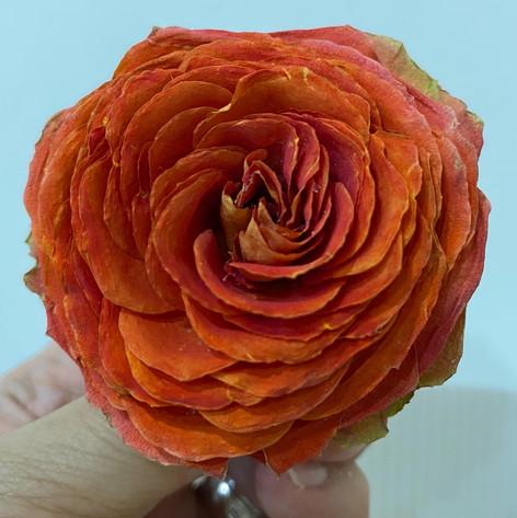 Spray Rose in Orange-Pink