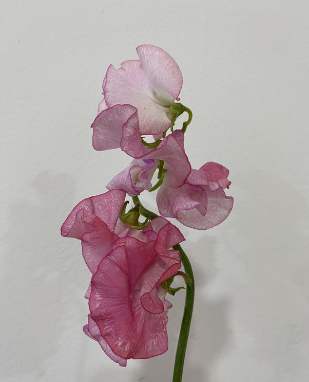 Sweet Peas in Speckled Pink