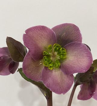 Helleborus in Purple