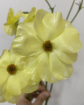 Butterfly Ranunculus in Yellow