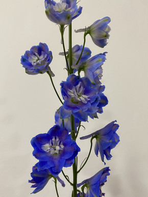Delphinium in Royal Blue