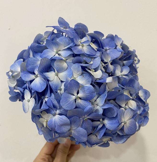Hydrangea in Blue-White