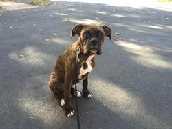 Jaxon in Dog Training