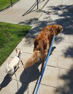 Rizzo & Buddy on a Walk