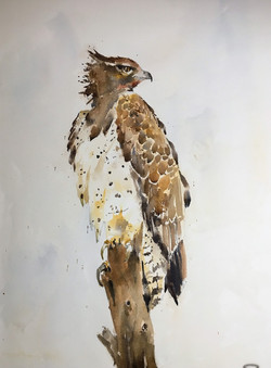 Hawk by Michele Clamp
