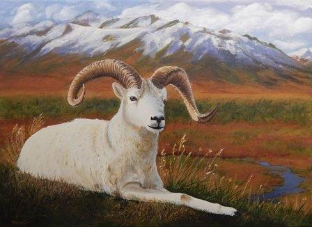 Dall Sheep by Chris