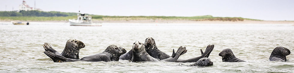 Seals on Parade by Roberta Anslow