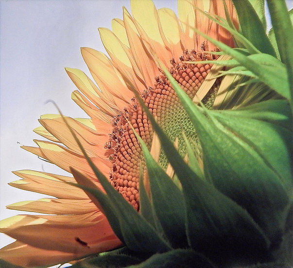 Sunflower by Candy Imming