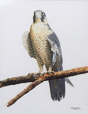 Peregrine Falcone with a Broken Wing by Nelson Hammer