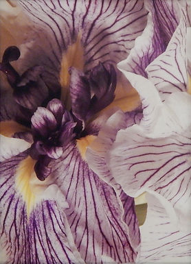 Iris by Ed Roche
