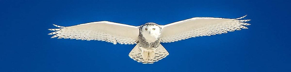 Flying Snowy Owl 1 by Roberta Anslow