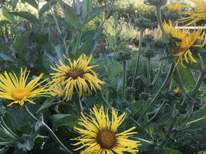 Griekse alant: zomers geel