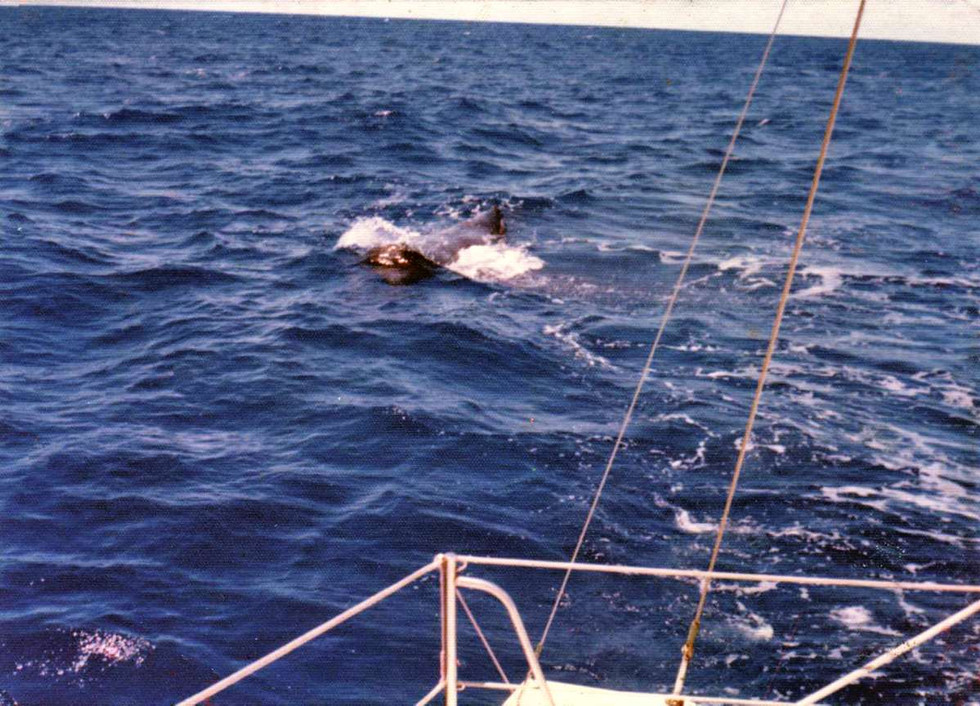 A Sperm Whale on the equator between Tahiti and Hawaii