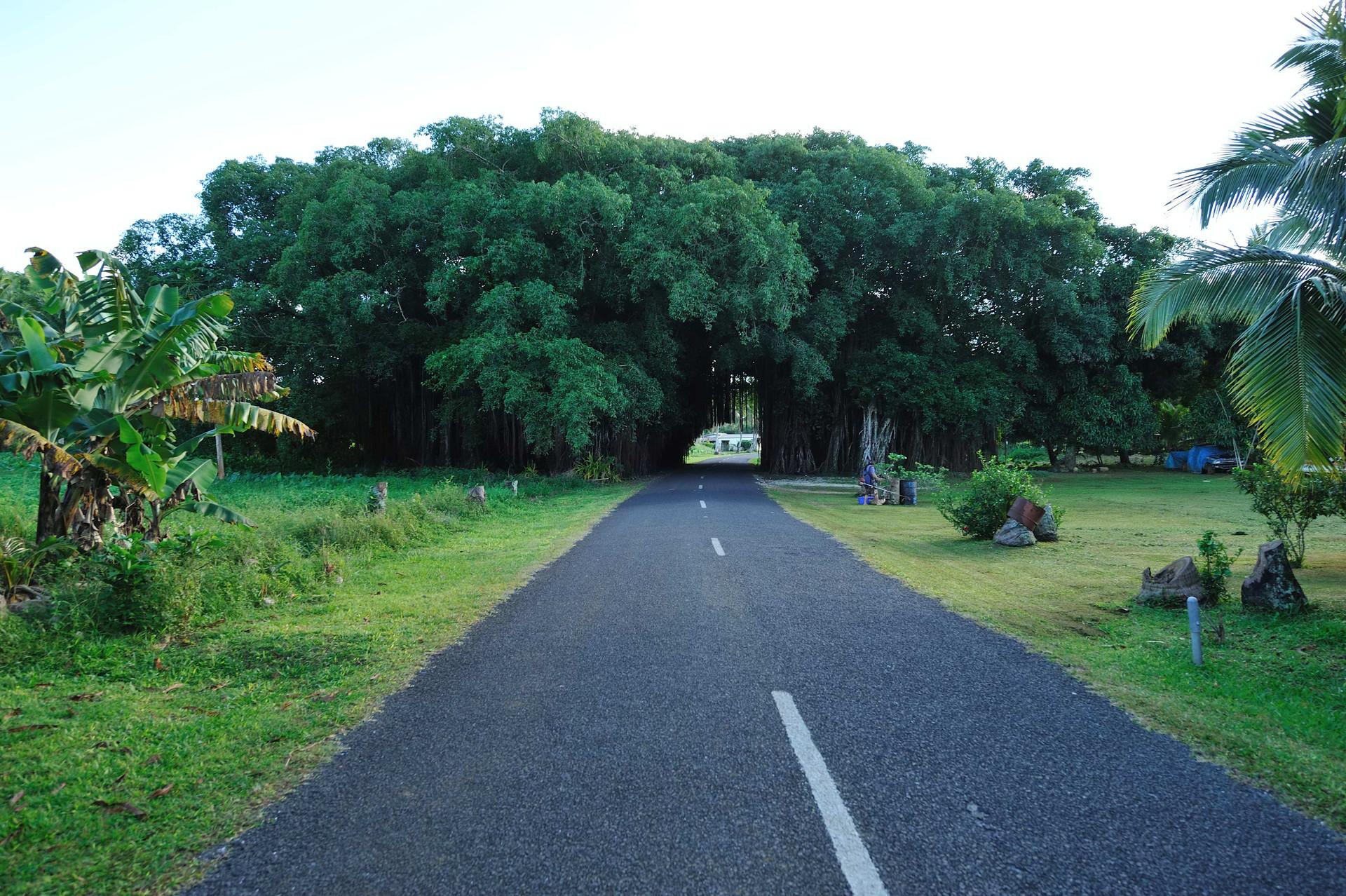 Driving through the giant Banyan tree