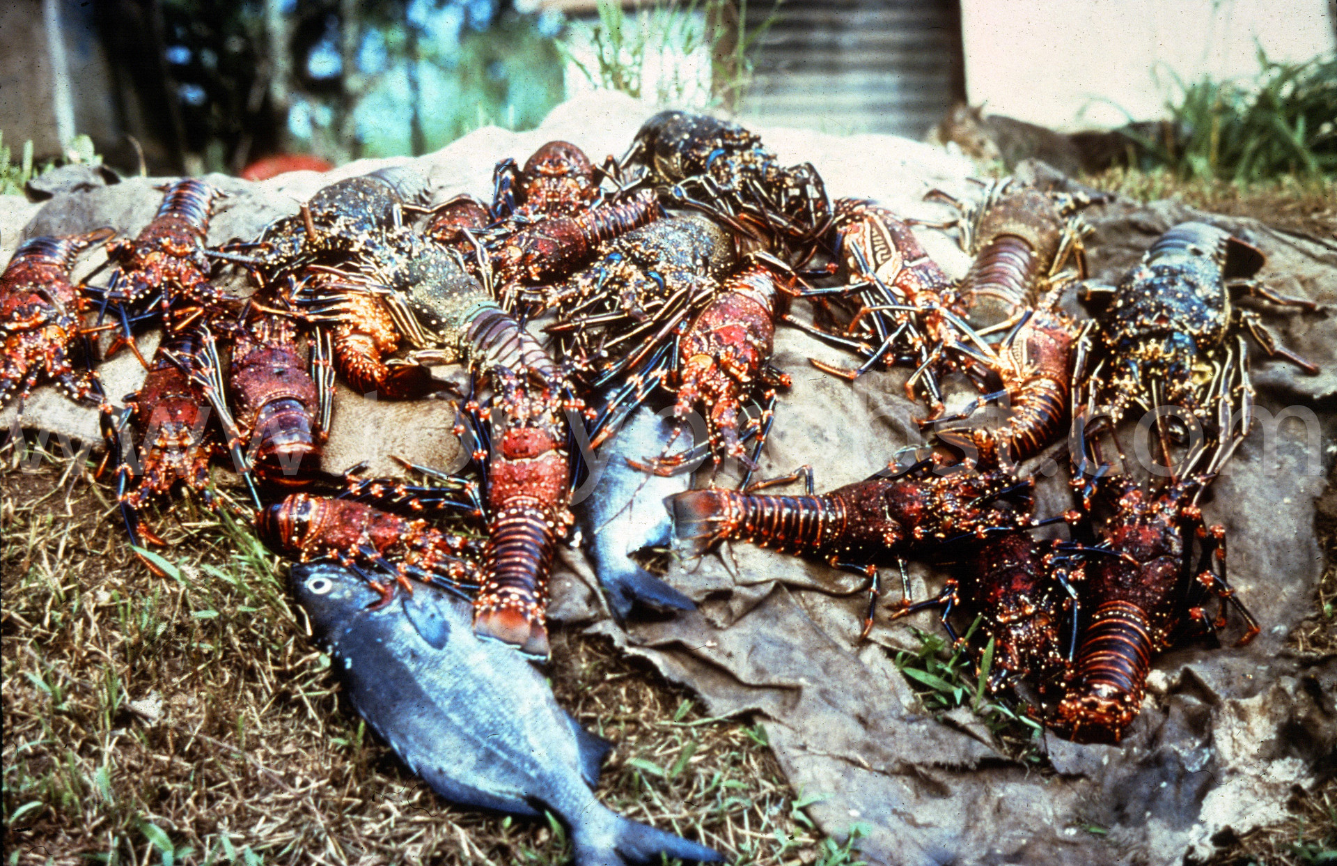 1967 A good lobster catch