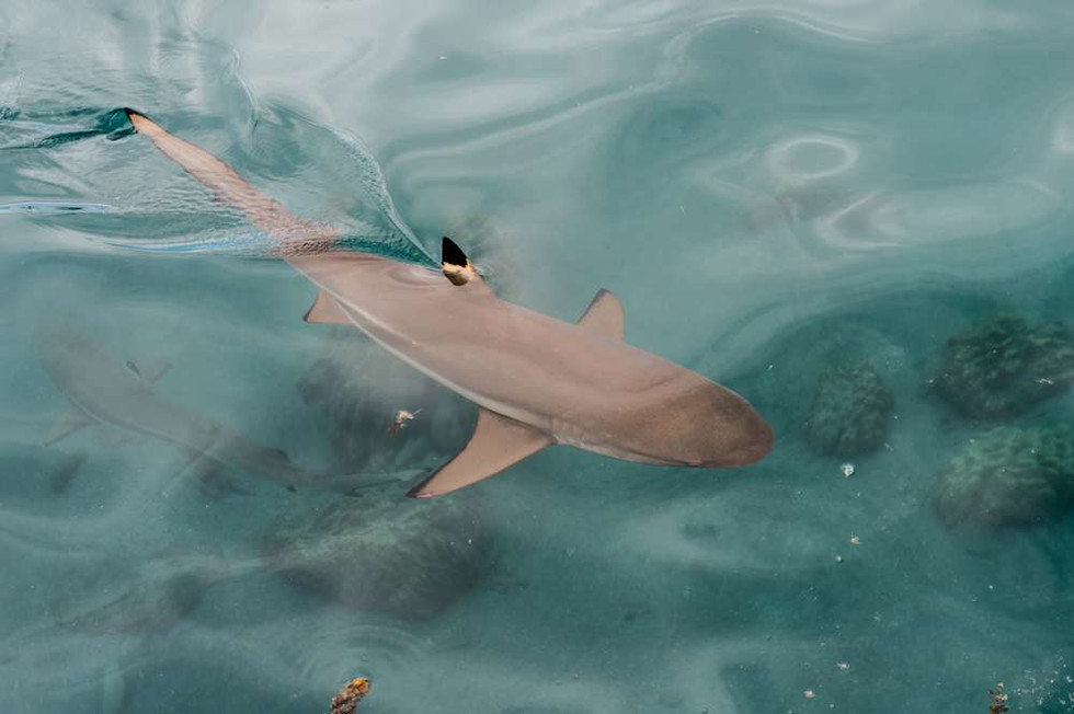 Black tip reef shark, Tahiti
