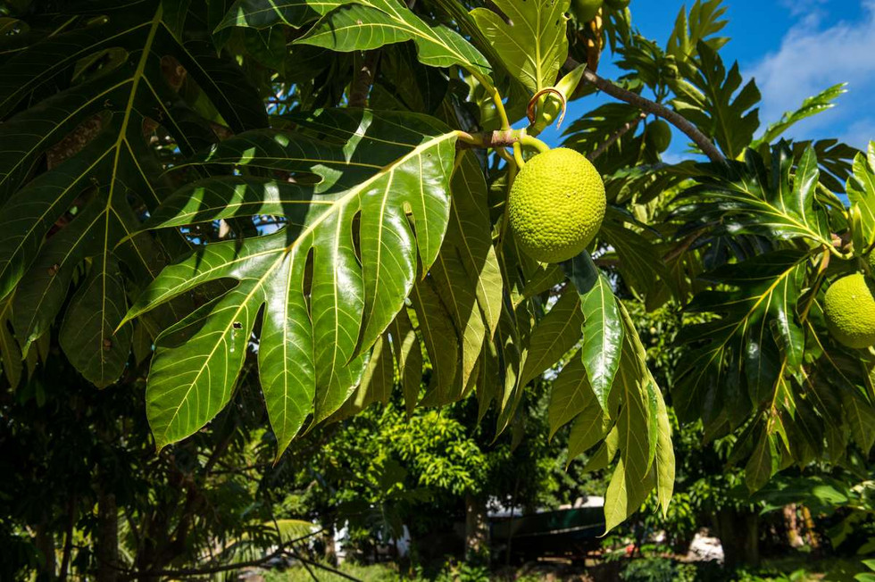 Breadfruit on Pitcairn. The reason for this whole story
