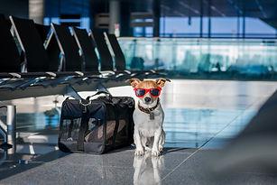 holiday vacation jack russell dog waitin