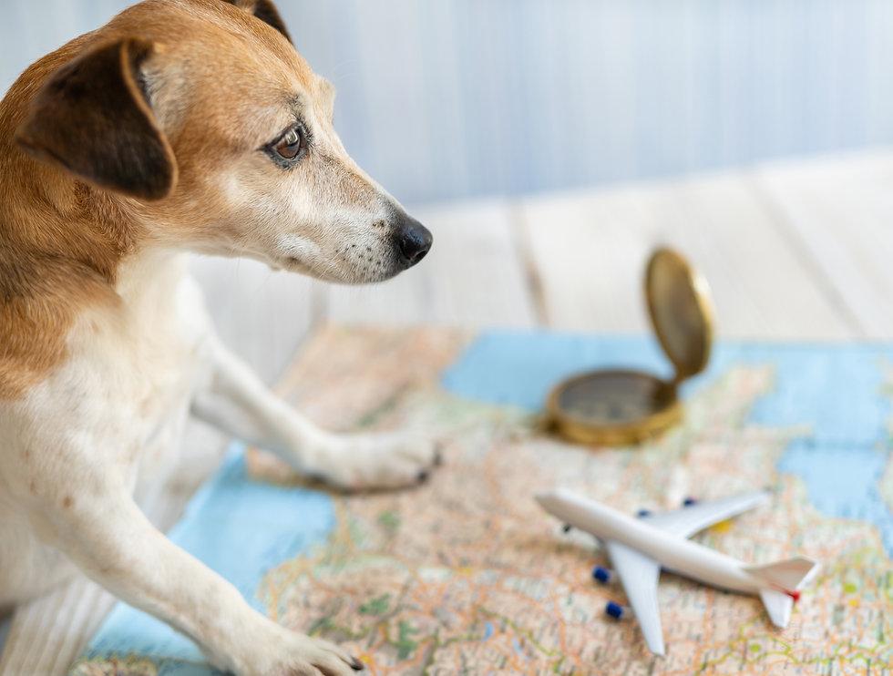 Jet A Pet a globetrotter dog Jack Russell terrier