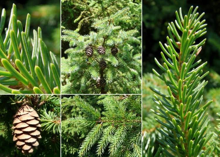 Picea mariana - Épinette noire