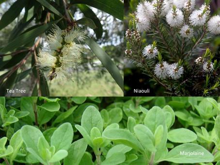 Marjolaine, Tea tree et Niaouli, un TRIO aussi efficace que le Ravintsara, voire plus!